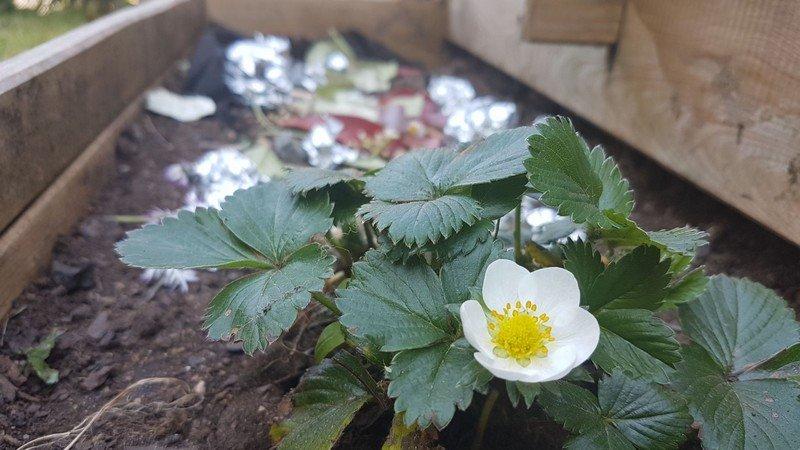 fraise-salomé-2